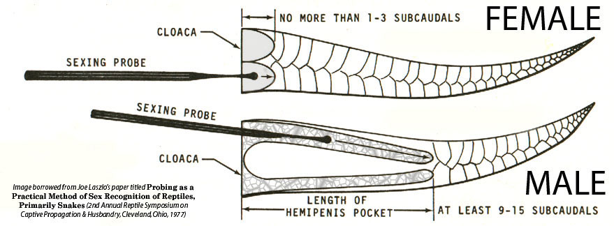 how to sex snakes with probes