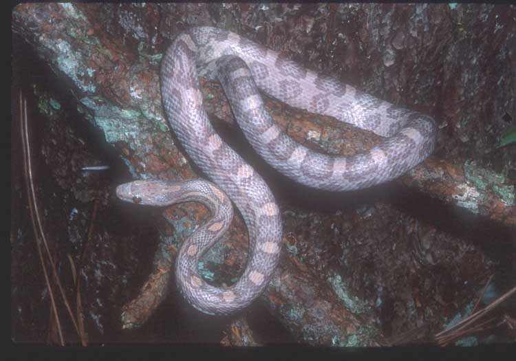 Lavender Corn Snake Lavender corn snakes these are